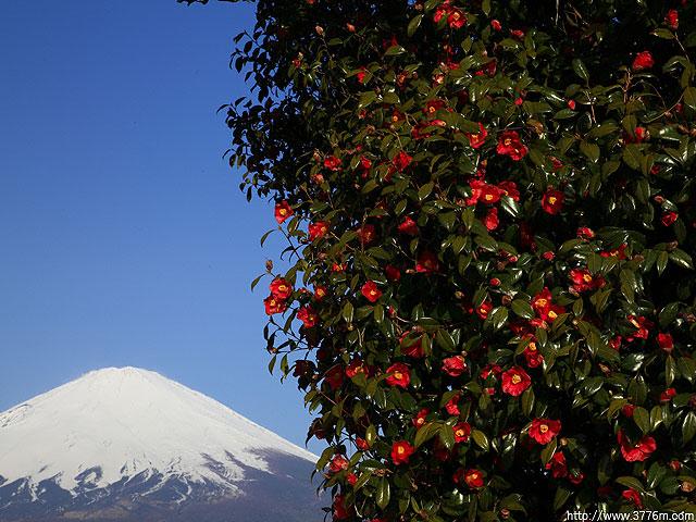 椿と富士山/御殿場市塚原