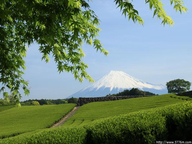 若葉と茶畑/富士市