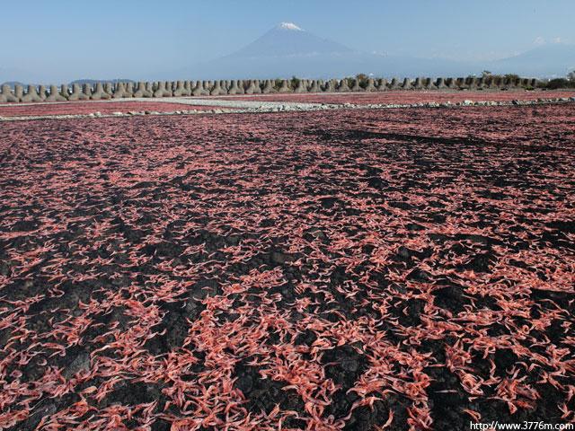 ピンクの絨毯/富士川河口