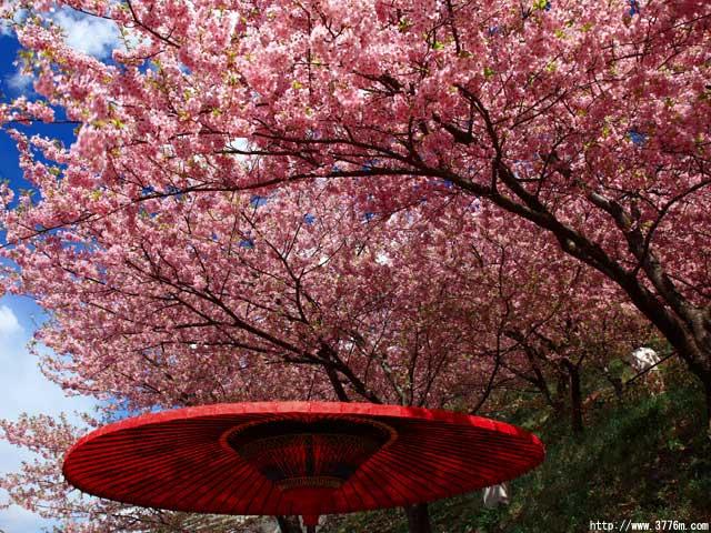 河津桜と番傘/松田山ハーブガーデン