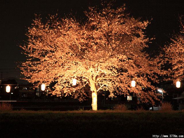 夜桜/平塚市渋田川