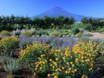 花咲く富士山