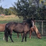 Horses standing and grazing in one of our pastures
