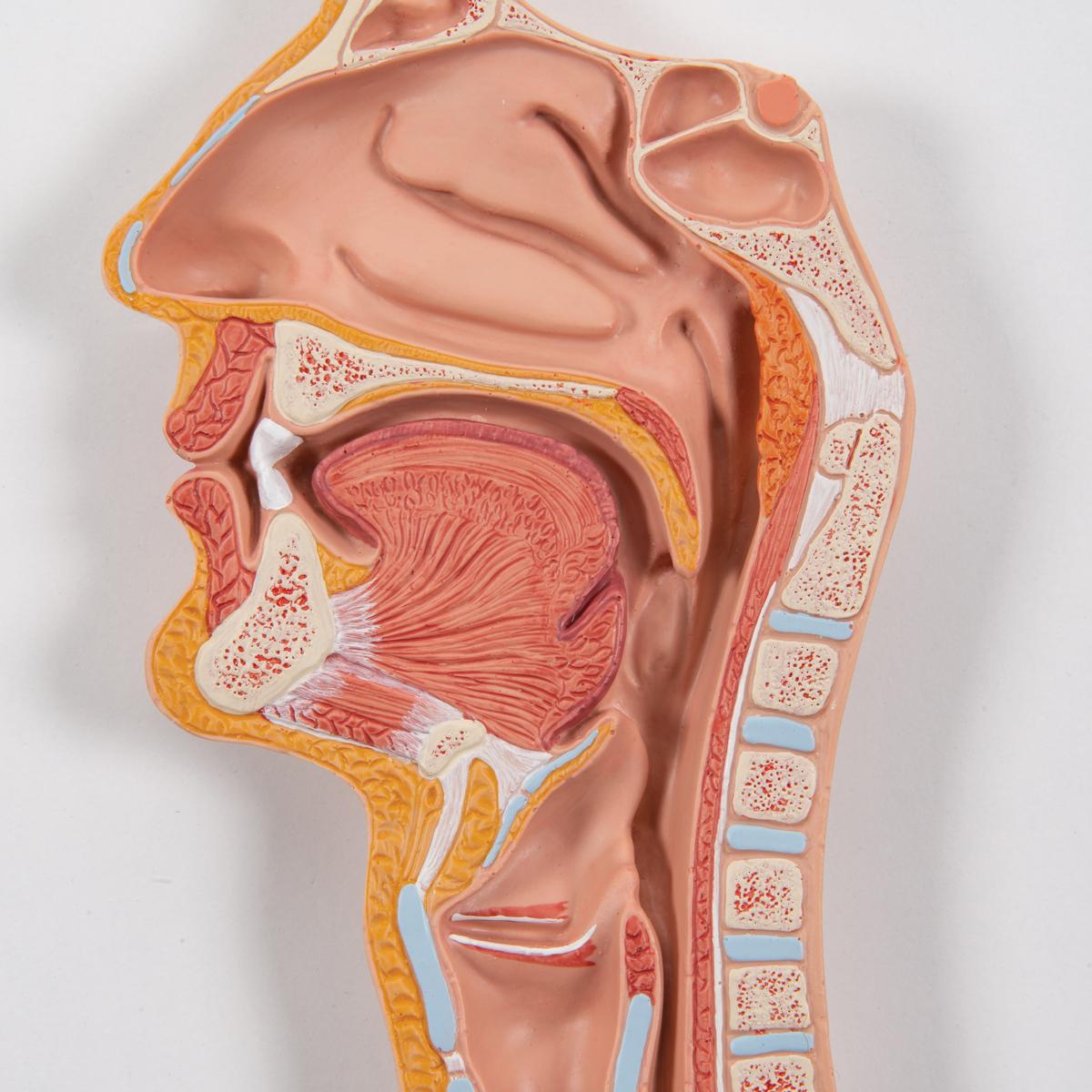 Anatomical Teaching Models