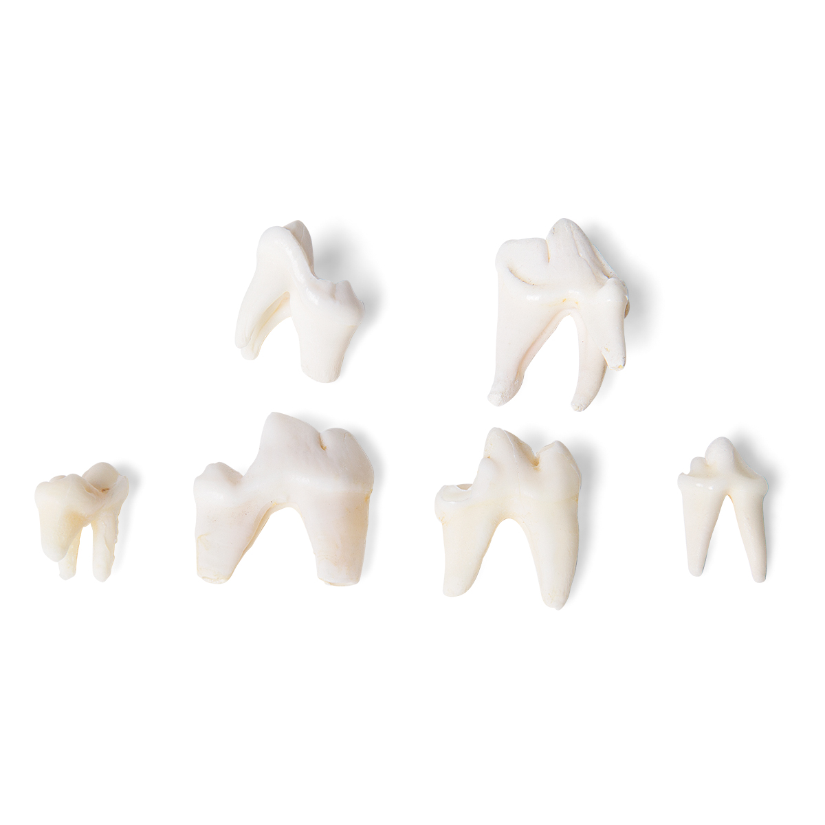 Tooth Types Of Different Mammals Mammalia