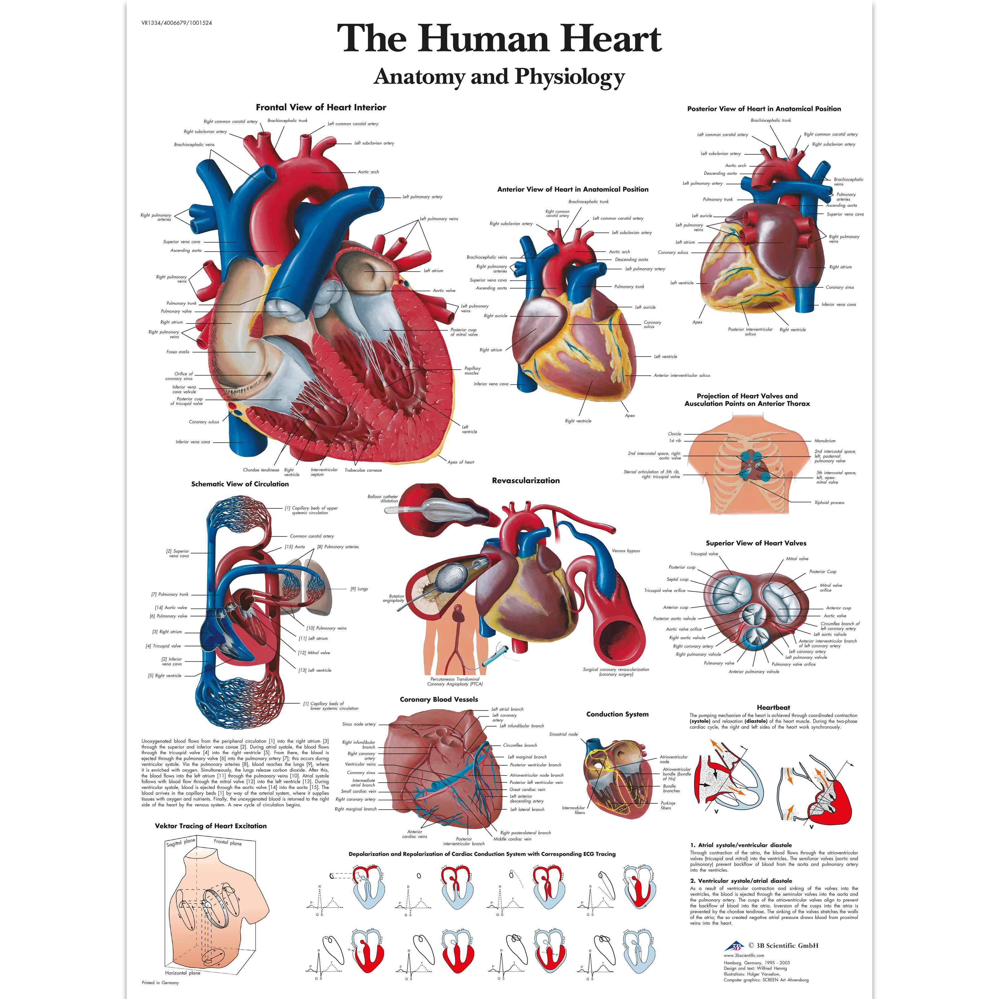 The Human Heart Chart