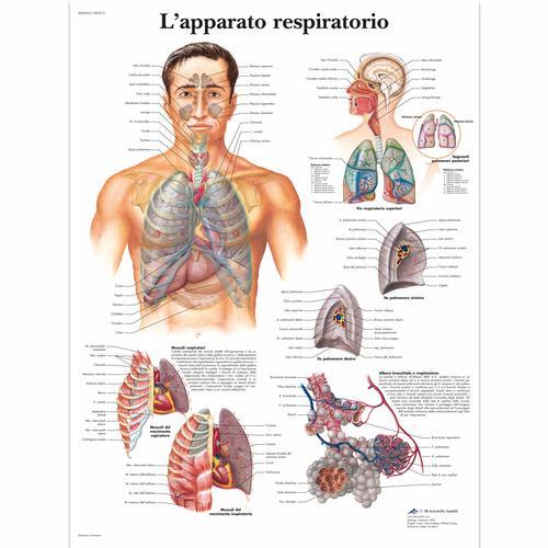https://i2.wp.com/www.3bscientific.it/imagelibrary/VR4322UU/VR4322UU_01_Lapparato-respiratorio.jpg