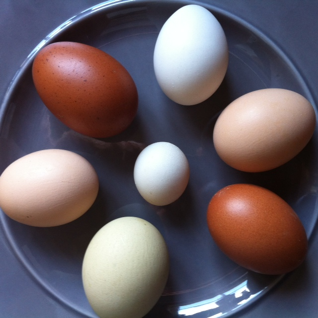 what kind of chicken to get, different eggs from chickens, rainbow eggs