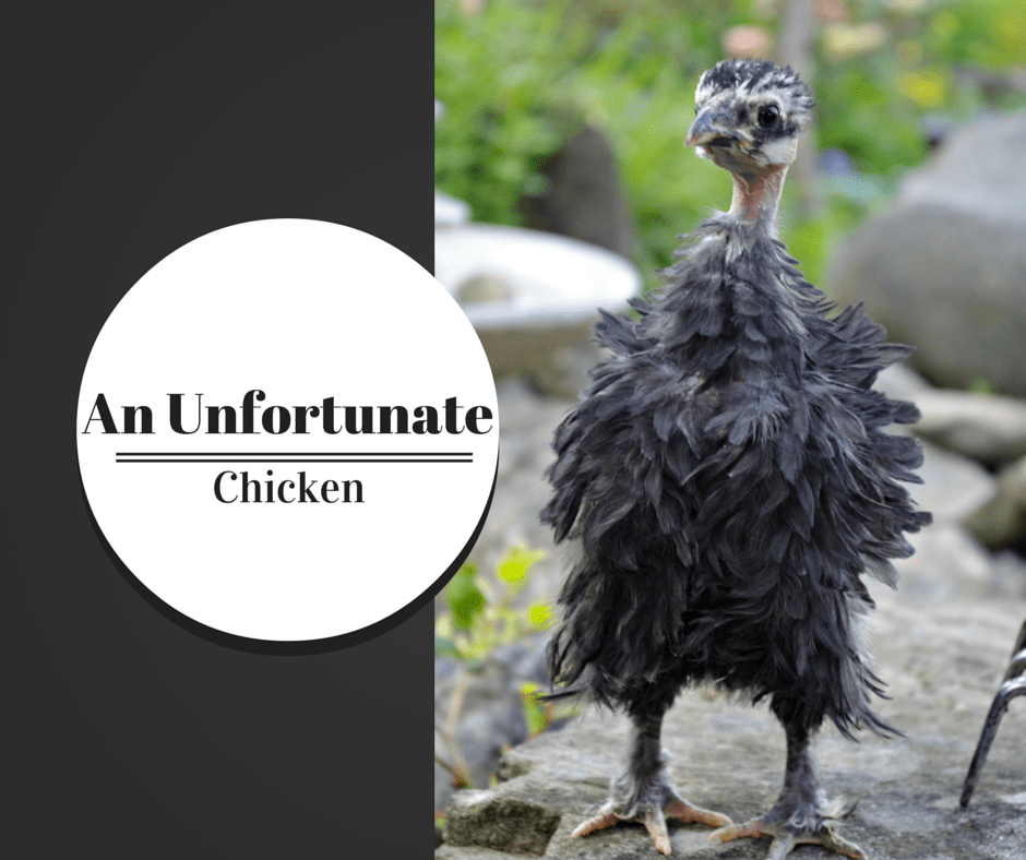 An Unfortunate Chicken; the Naked Neck Frizzle