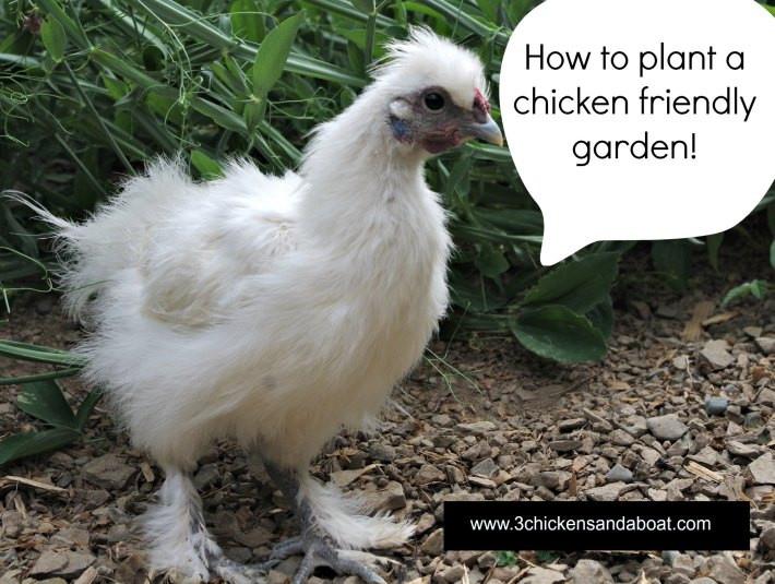 chicken friendly gardens, gardening with chickens, how to stop chickens from destroying your garden