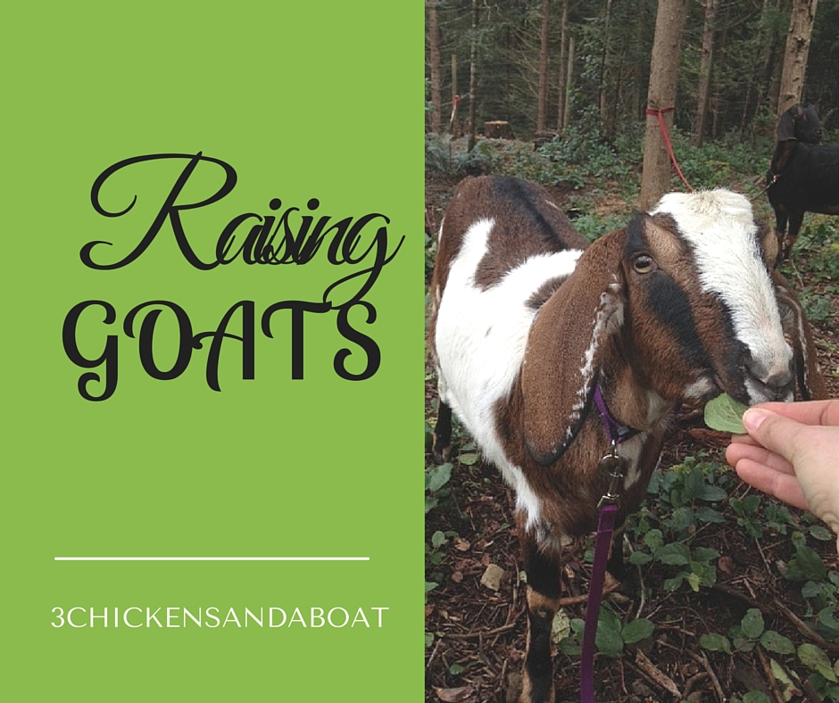 Raising Goats : What you need to know