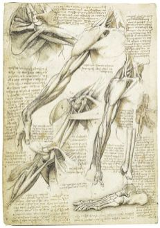 The anatomical study by Leonardo Da Vinci shoulder