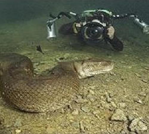 Anaconda de oito