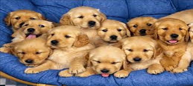 casal enterrou 11 filhotes de cachorro vivos.