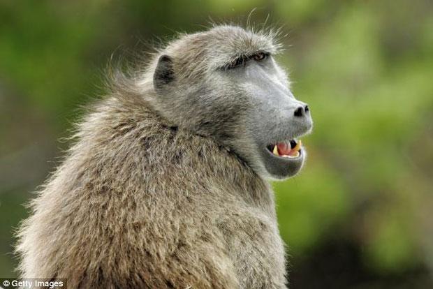 A Arábia sofreu problemas no passado depois de babuínos e outros macacos invadirem aldeias à procura de comida.