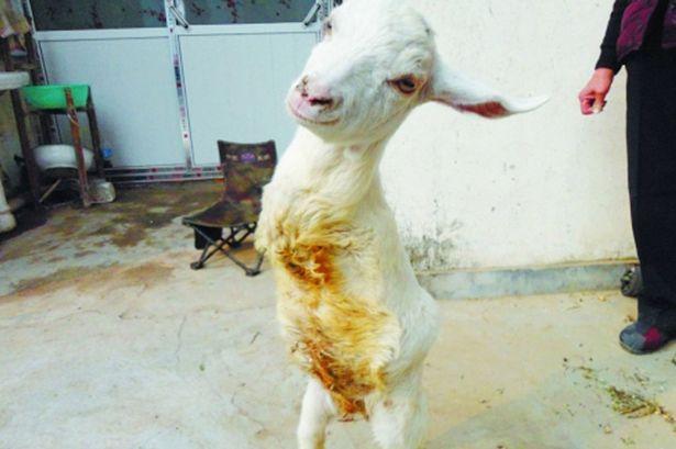 Ele diz sentir que é muito parecido com seu novo animal, e que a história da ovelha é a melhor fonte de cura para ele e outras pessoas com a doença. Leia mais em: http://www.techmestre.com/ovelha-que-nasceu-sem-as-patas-da-frente-aprende-a-andar-como-humanos.html#ixzz2o0tlkliu