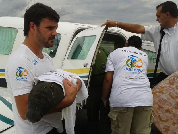 Peixe-boi foi embarcado em avião, em Cruzeiro do Sul (Foto: Genival Moura/G1)