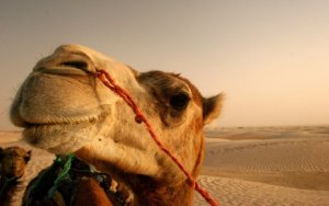 camel picture
