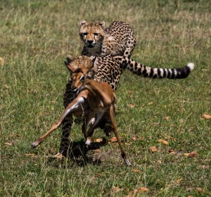 Cheetah cubs (13 months) and impala fawn