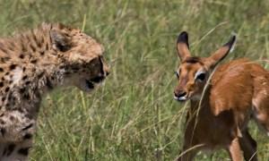 Cheetah and impala