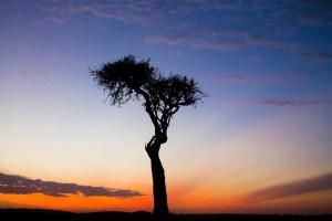 Beautiful tree in the Mara, Kenya
