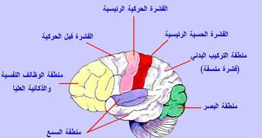 التركيب الوظيفي للمخ