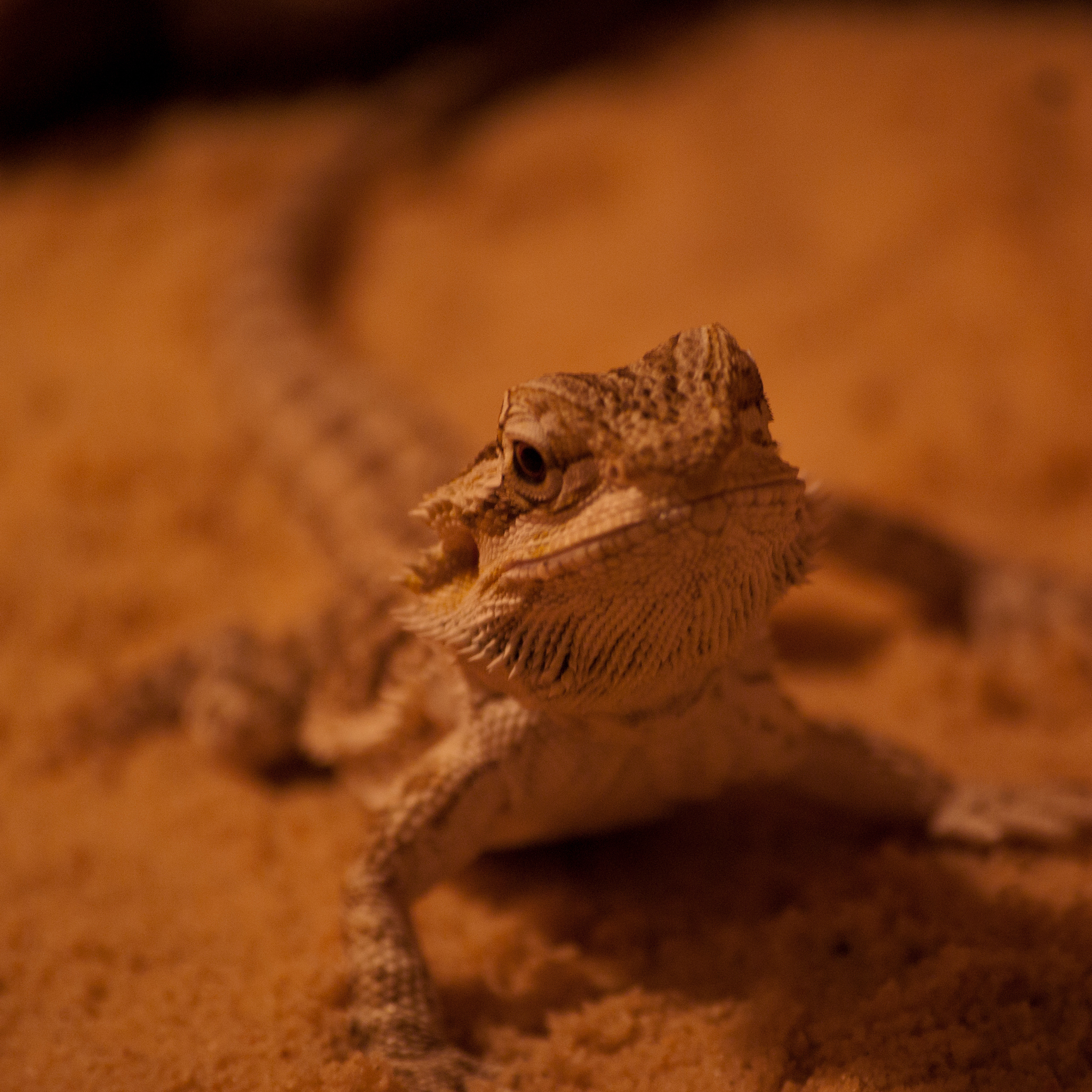 Lezard 3Wallpapers iPad Retina Lezard   iPad Retina