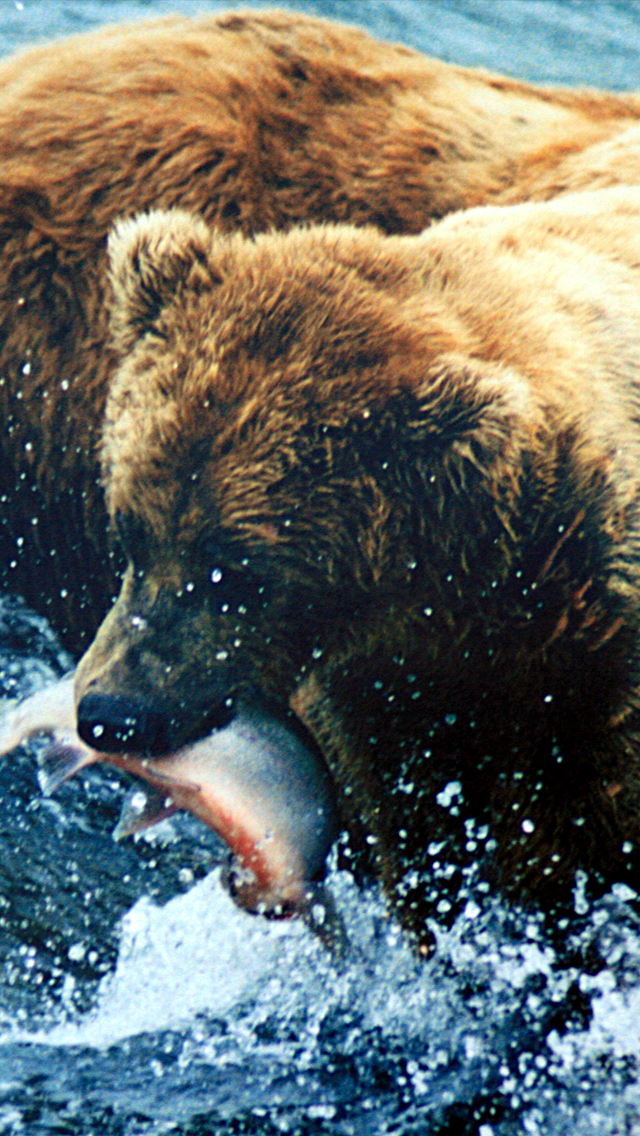 Brown Bear Grizzly 3Wallpapers iPhone 5 Brown Bear Grizzly