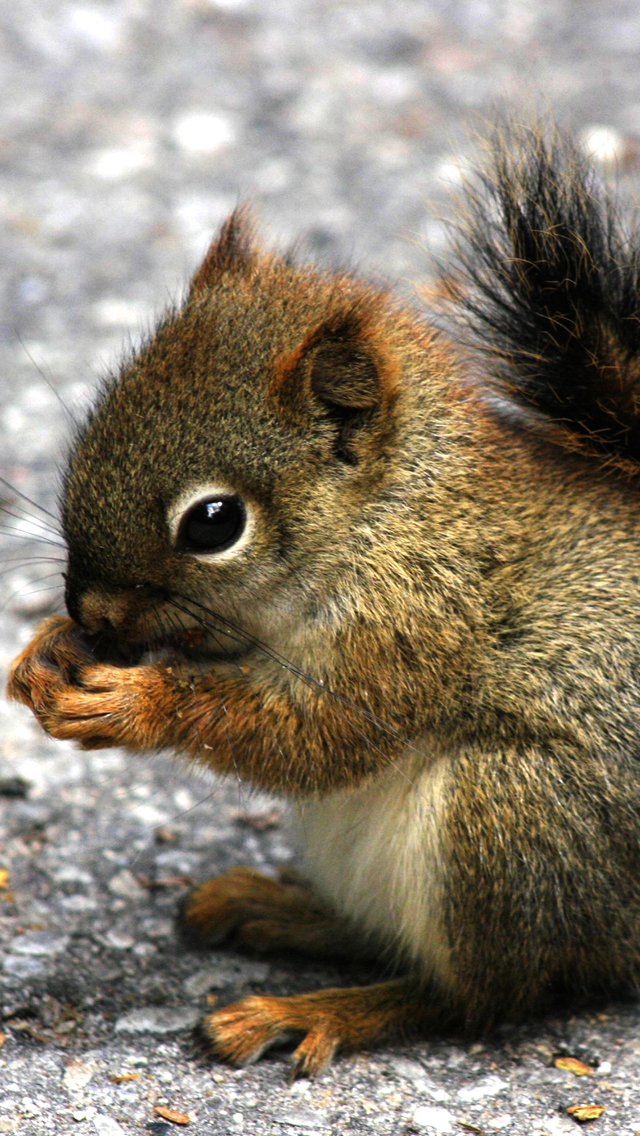 Mini Squirrel 3Wallpapers iPhone 5 Mini Squirrel