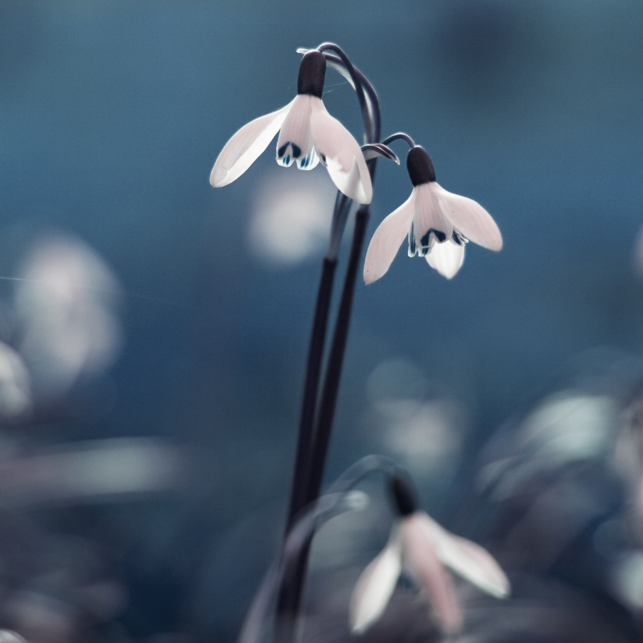 Opened Snowdrops 3Wallpapers ipad Retina Opened Snowdrops   iPad Retina