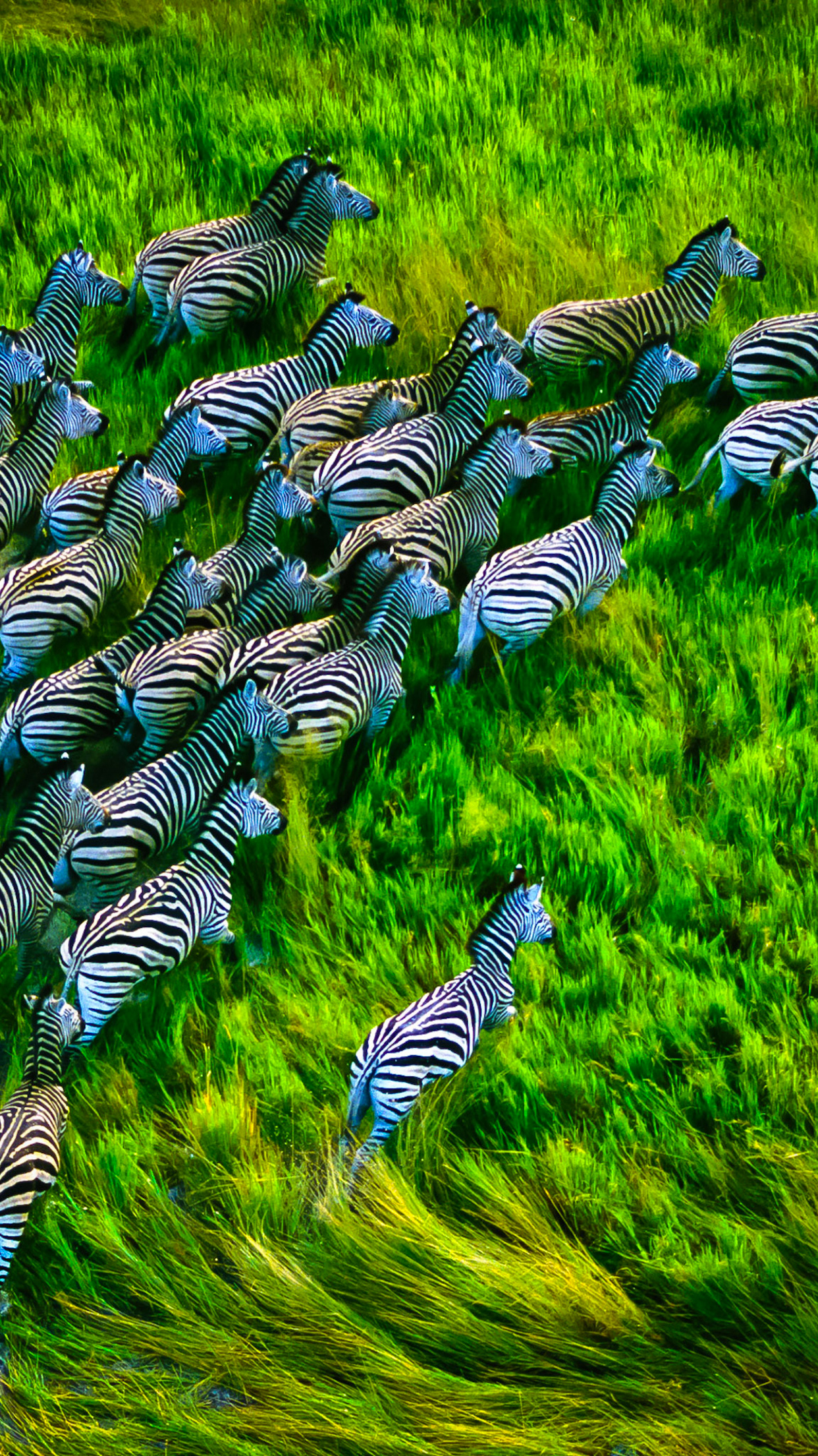 Running Zebras 3Wallpapers iPhone Parallax Running Zebras