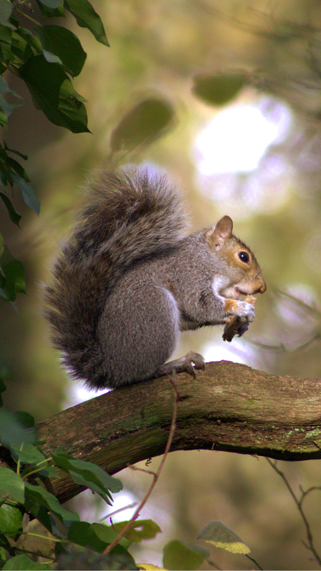 Squirrel Gray iPhone 3Wallpapers Parallax Squirrel Gray