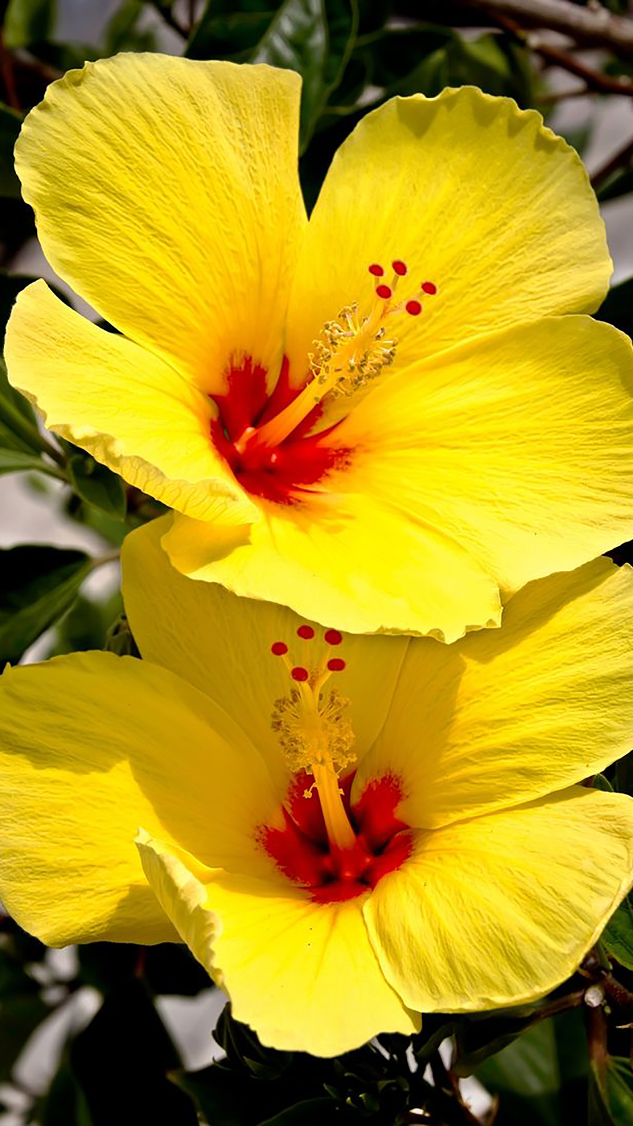 Hibiscus Yellow 3Wallpapers iPhone Parallax Hibiscus : Yellow