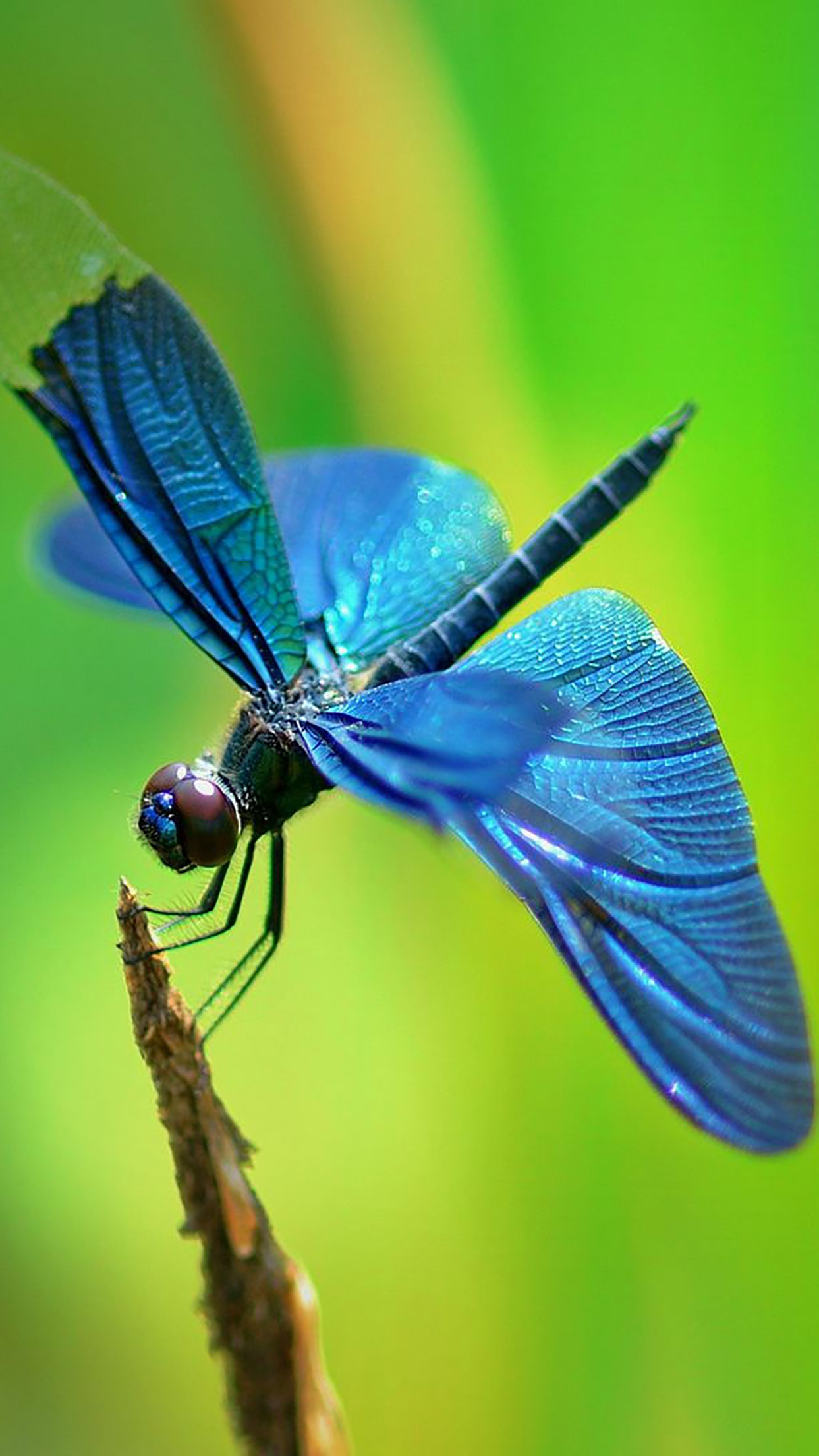 Insect : Dragonfly Wallpaper for iPhone ...