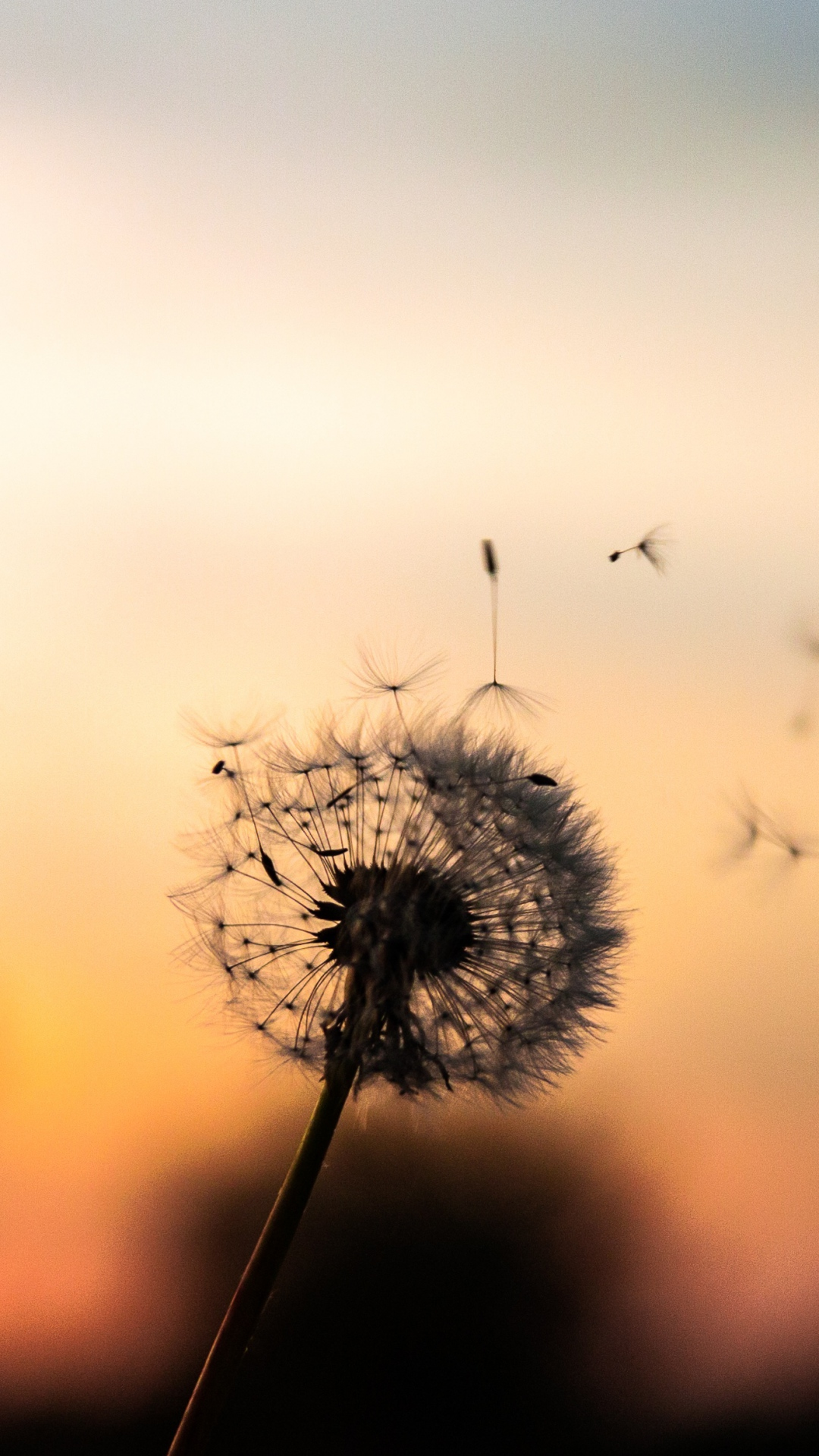 iphone wallpaper dandelion down Dandelion