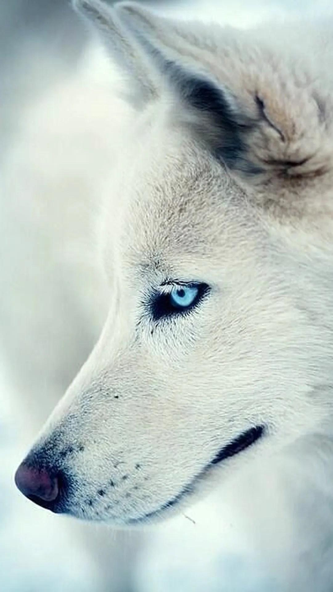 iPhone wallpaper white wolf Wolf