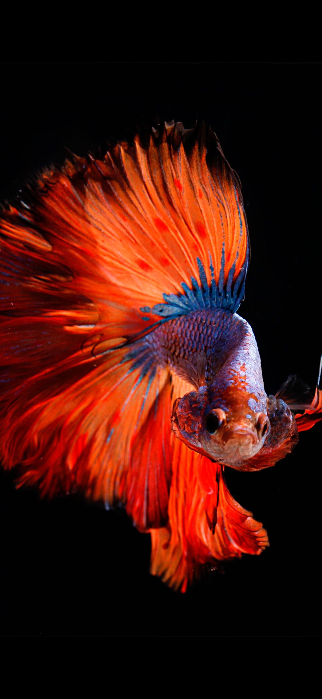 iPhone wallpaper fish orange Fish