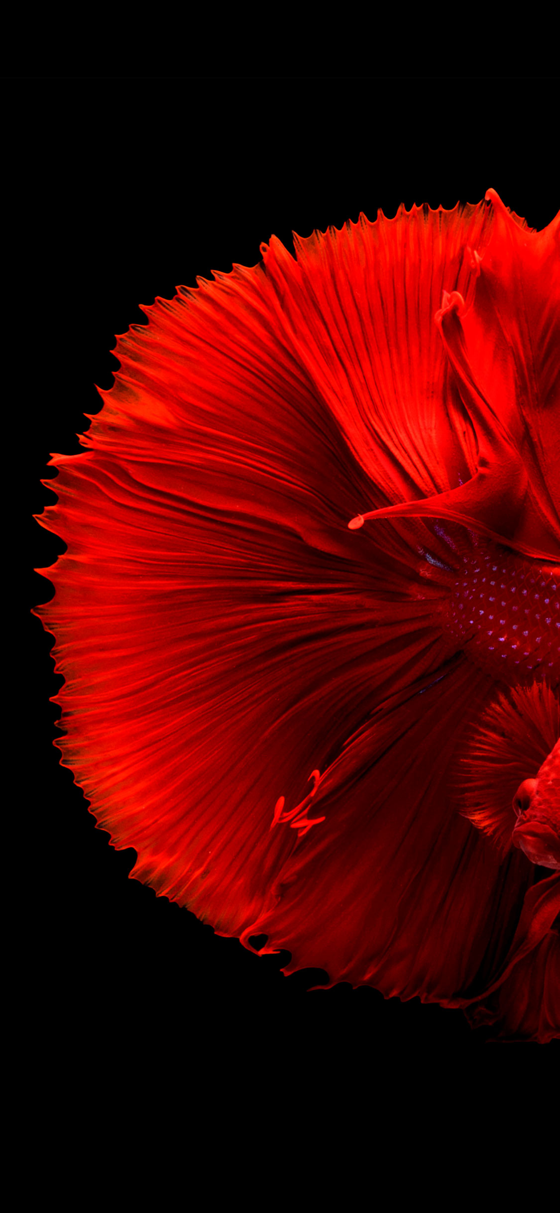 iPhone wallpaper fish red Fish
