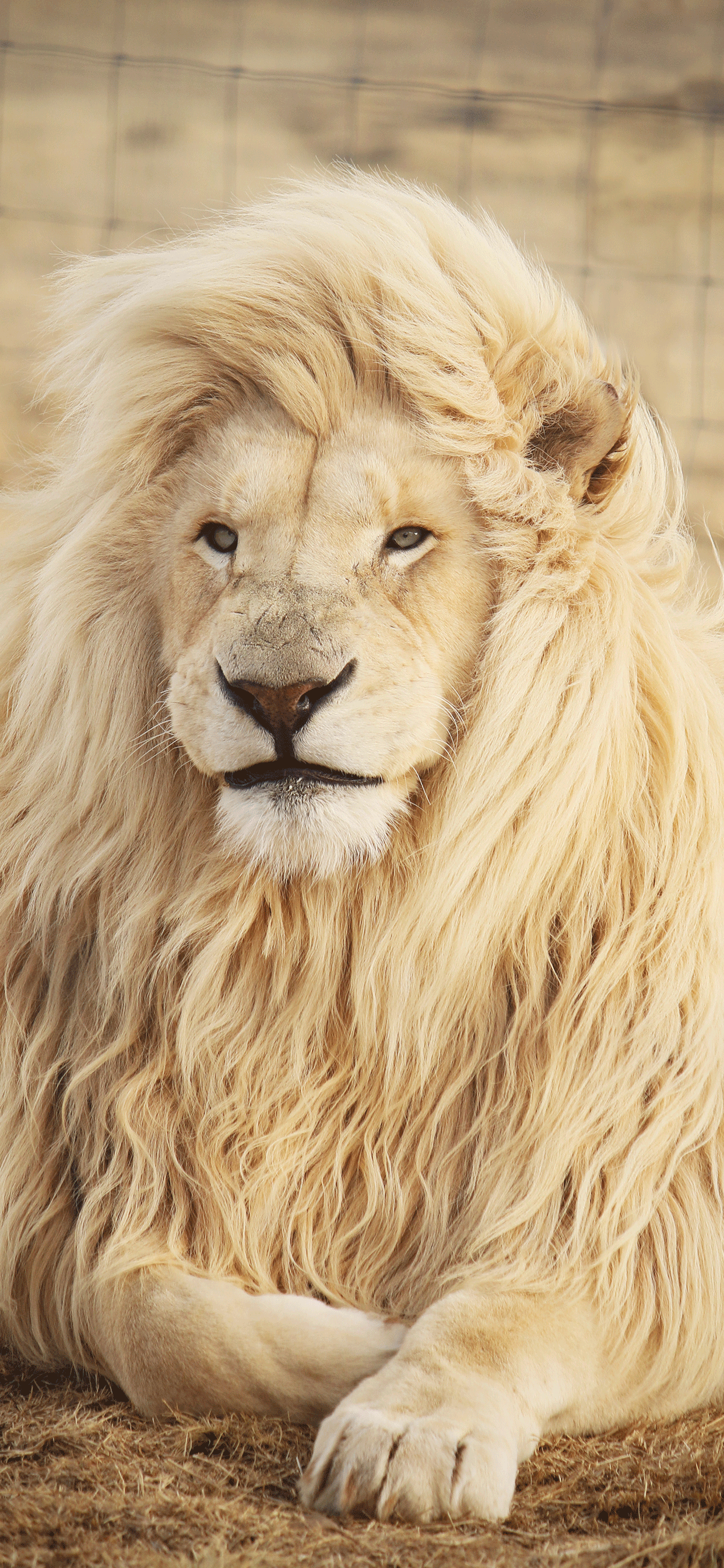 iPhone wallpaper lion south africa Lion