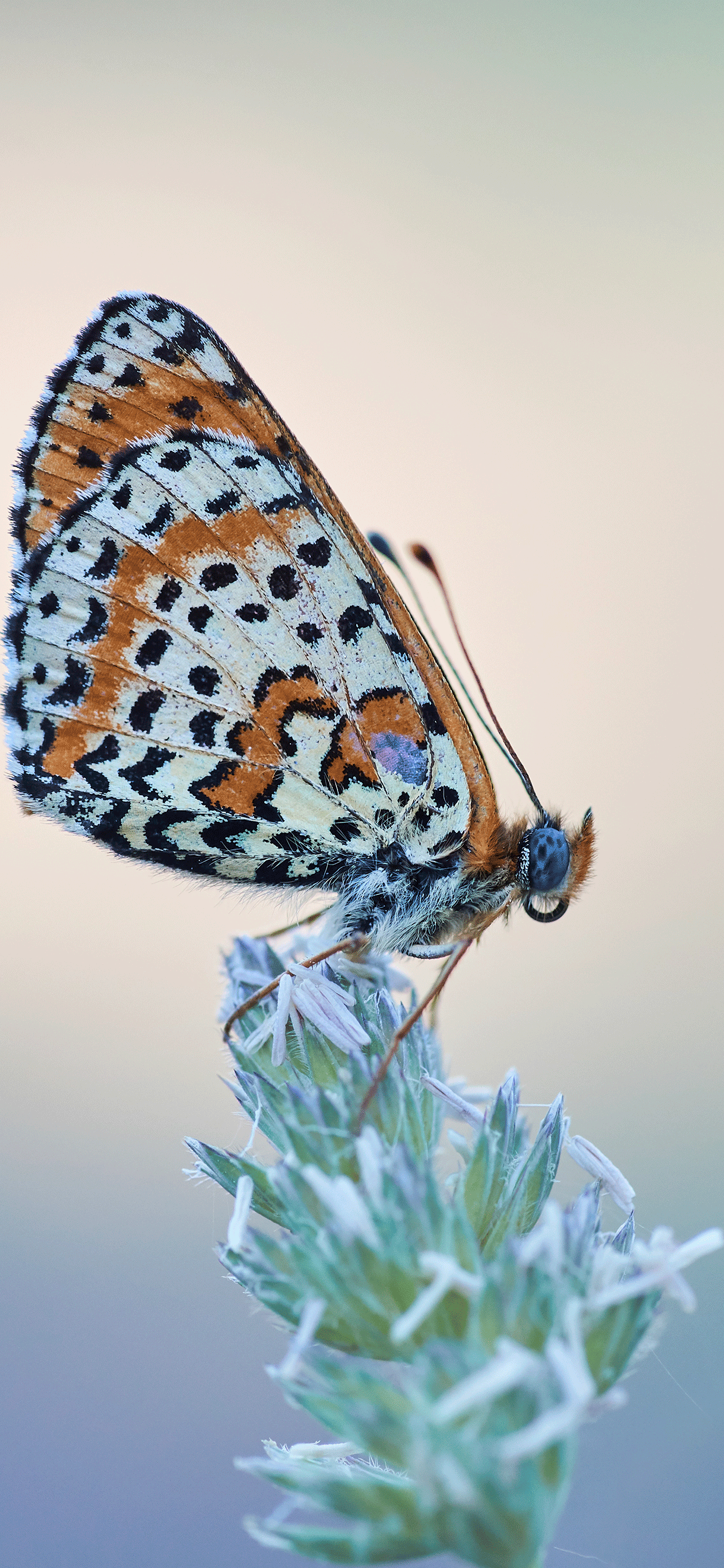 iPhone wallpaper butterfly stains Butterfly
