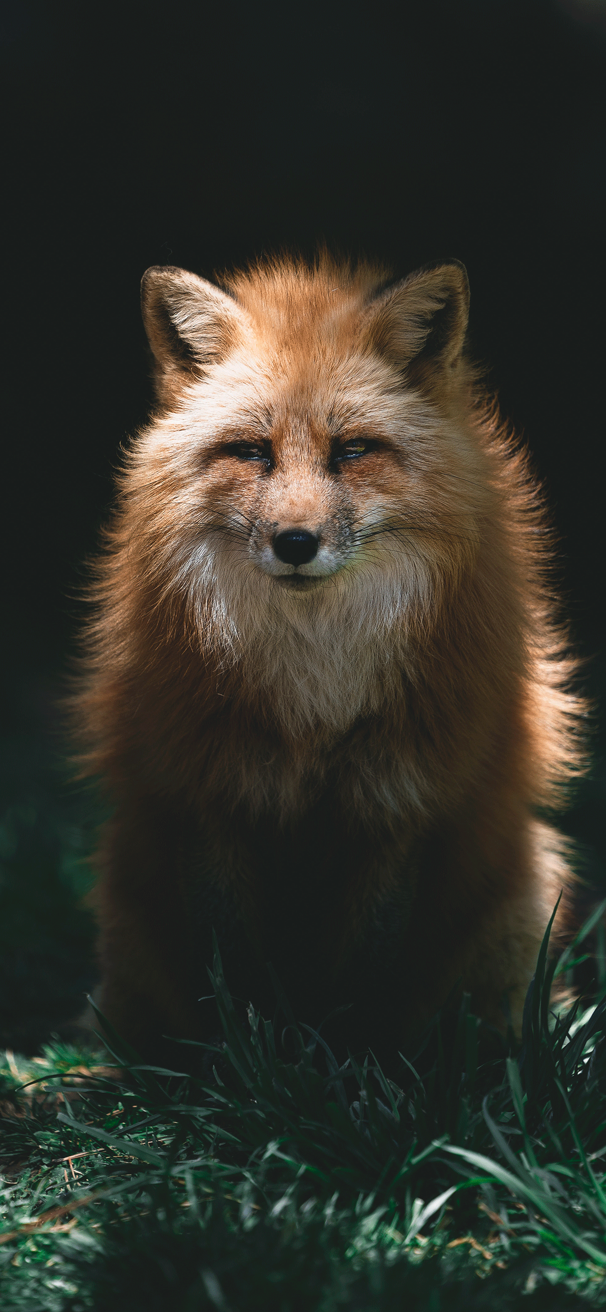 iPhone wallpapers fox eyes closed Fox