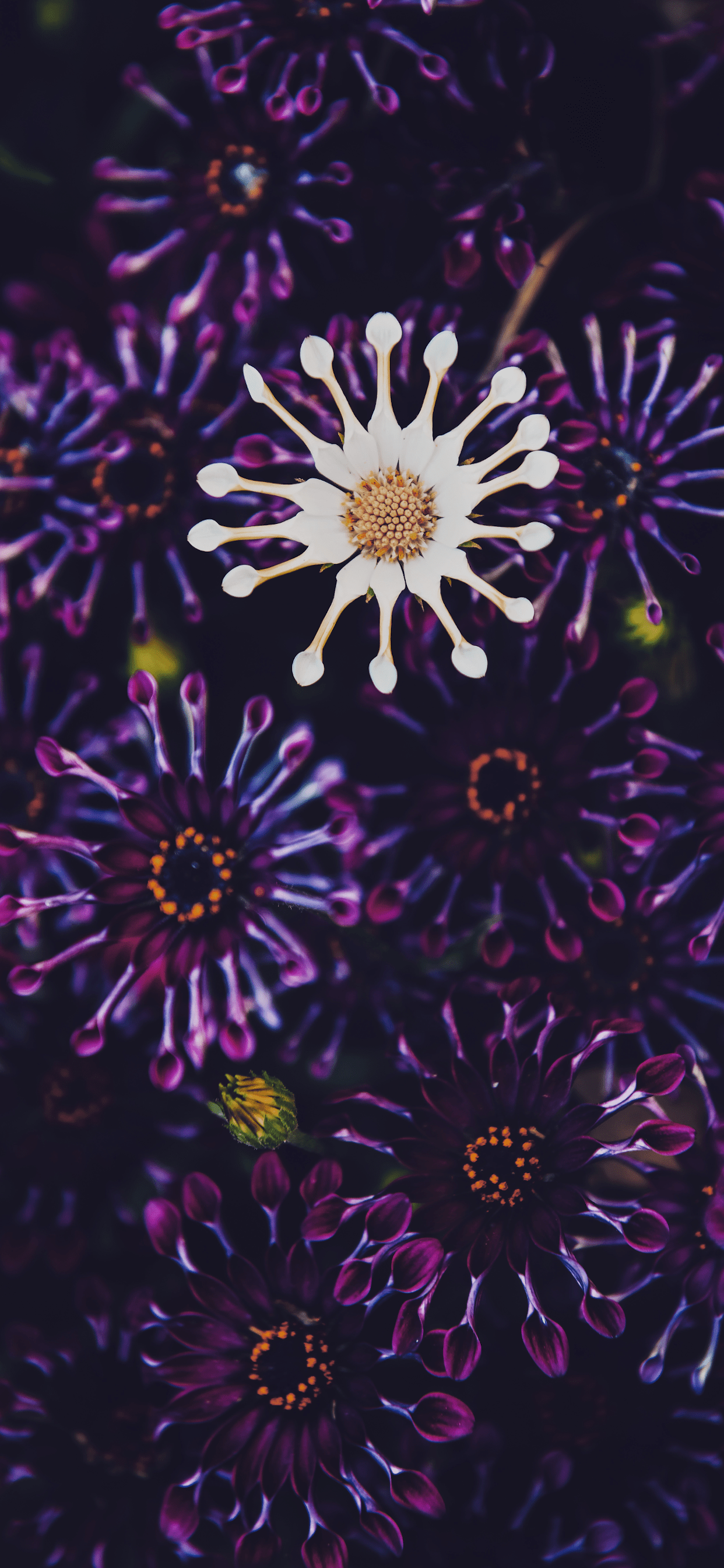 iPhone wallpapers flowers whirligig osteospermum Flowers