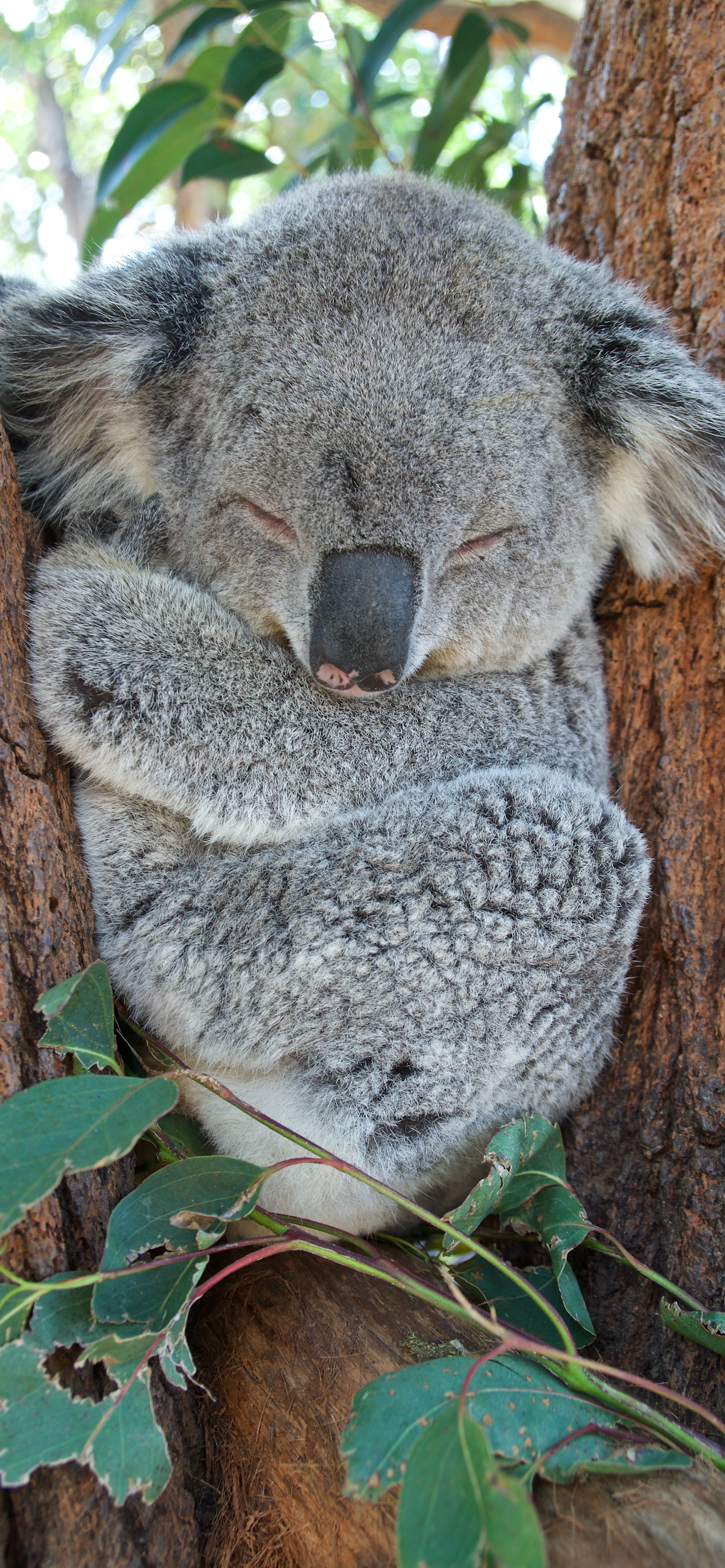 iPhone wallpapers koala sydney australia Koala