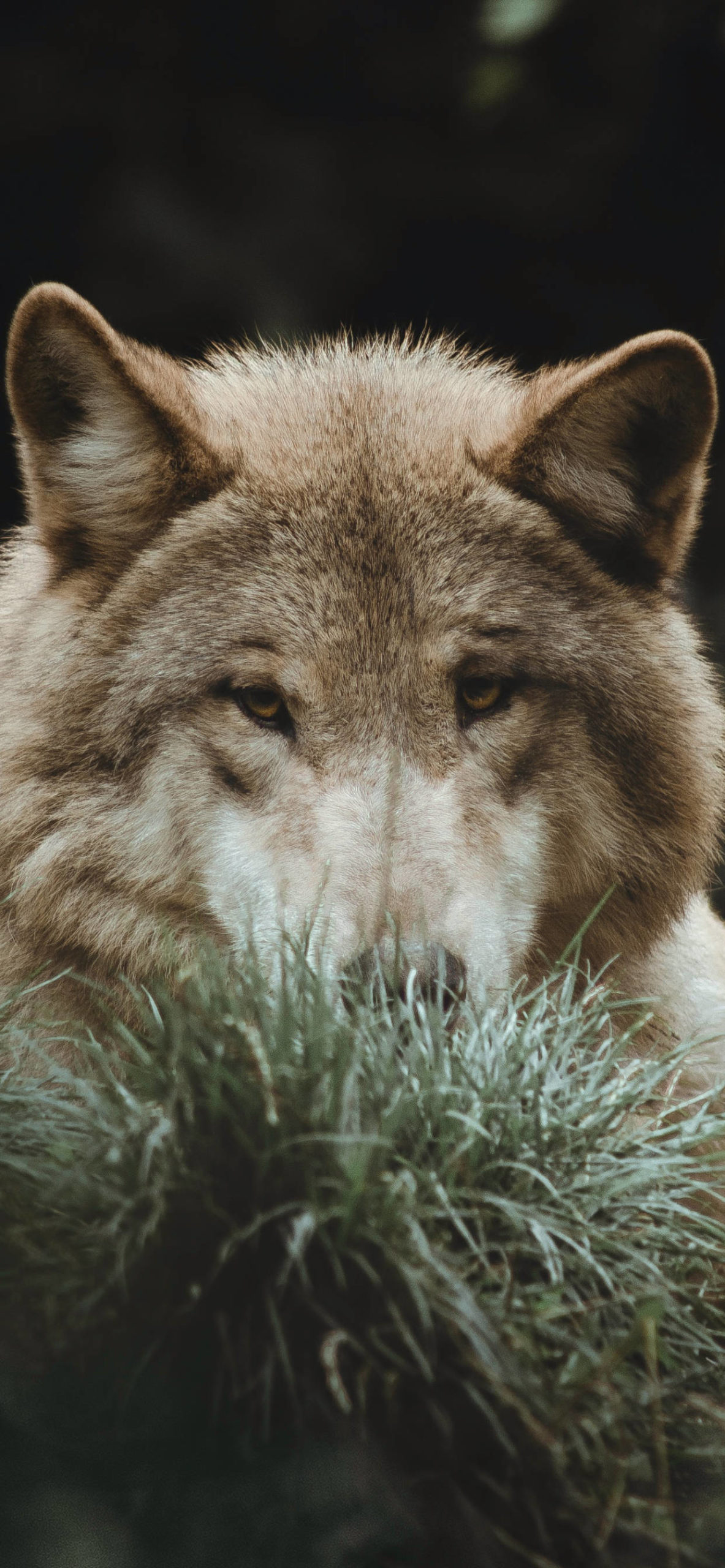 iPhone wallpapers animal wolf brown scaled Wolf
