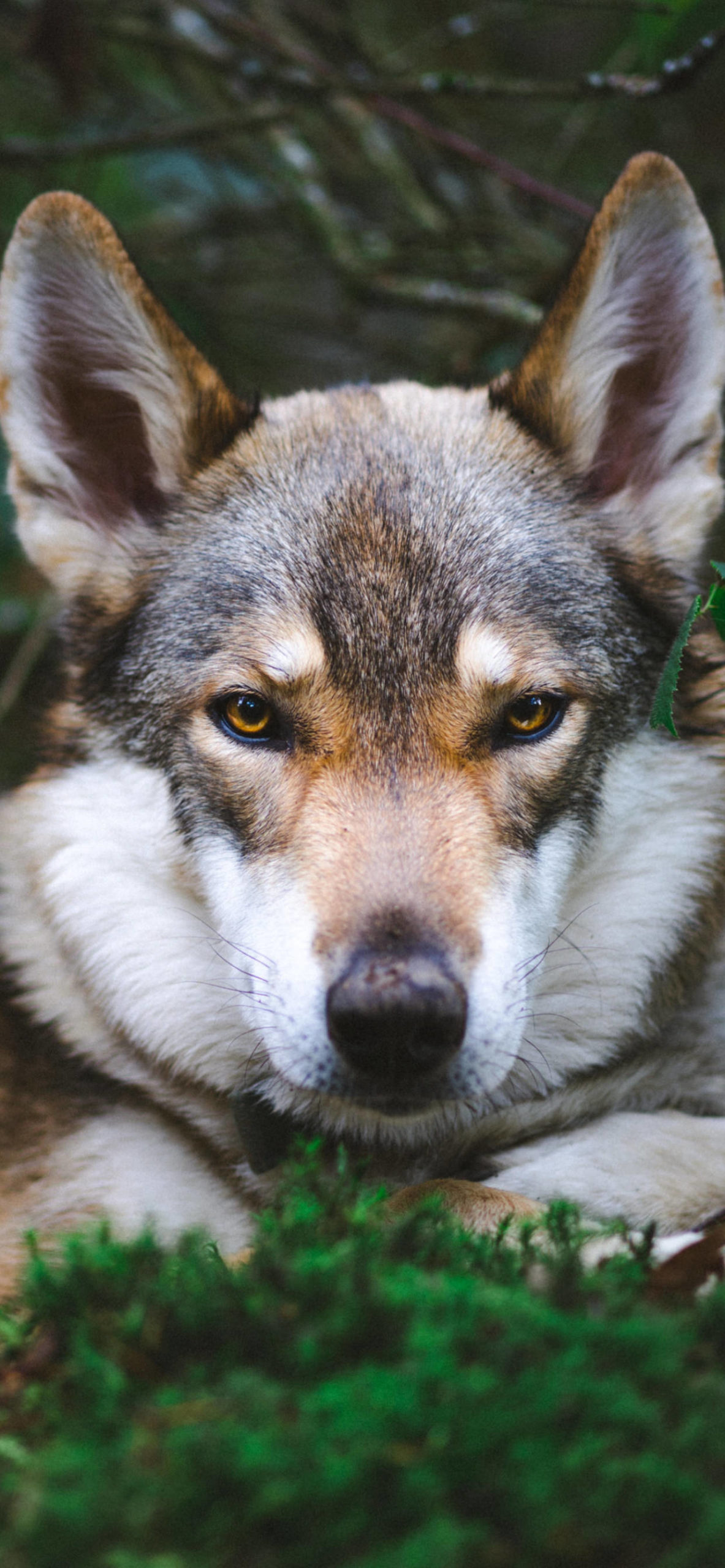iPhone wallpapers animal wolf gray scaled Wolf