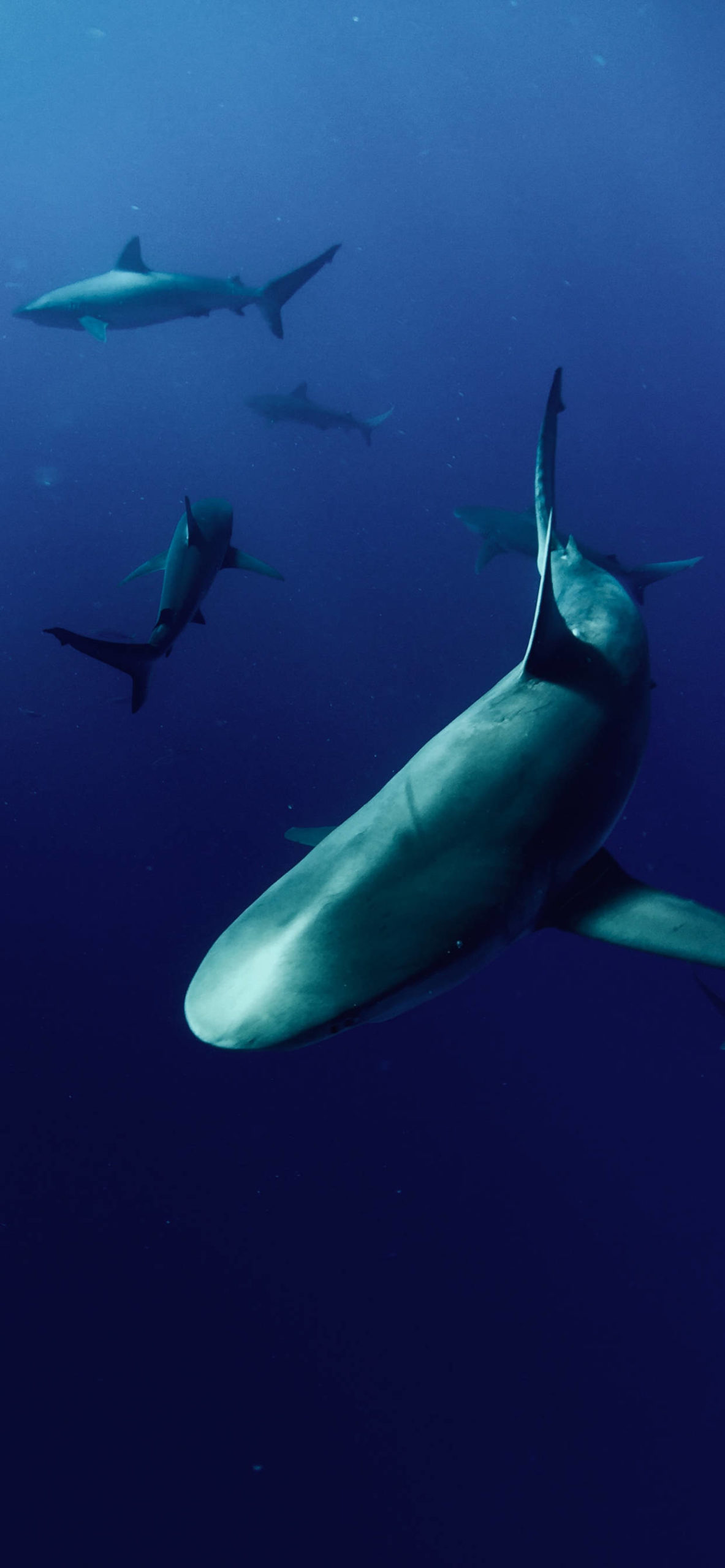 iPhone wallpapers shark haleiwa scaled Shark
