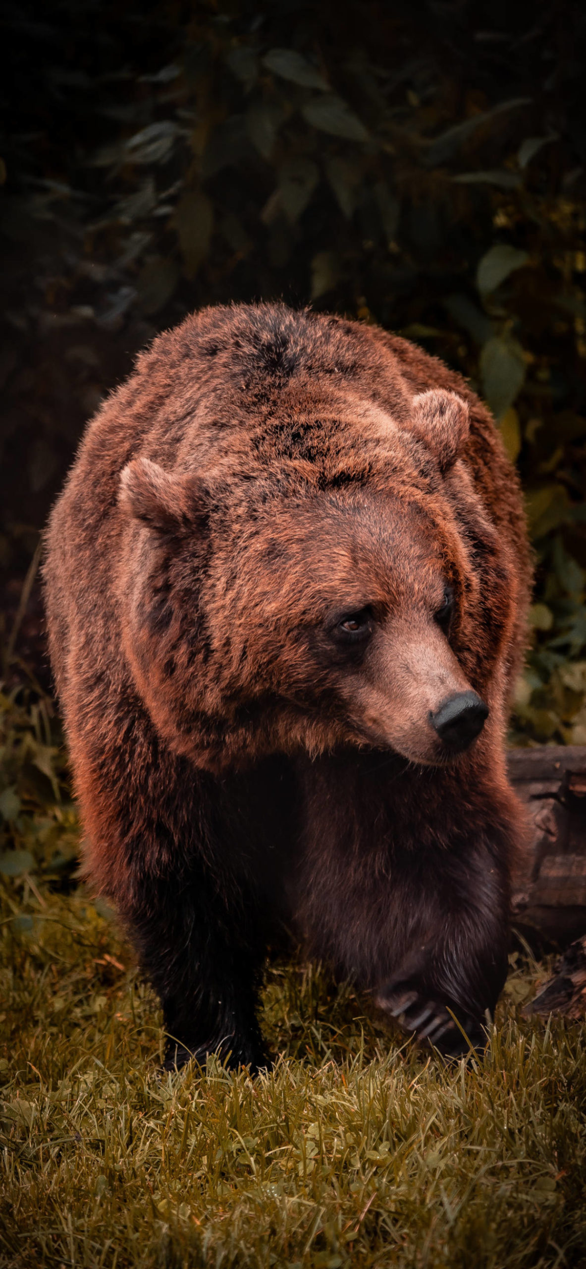 iPhone wallpapers bear arbesbach scaled Bear