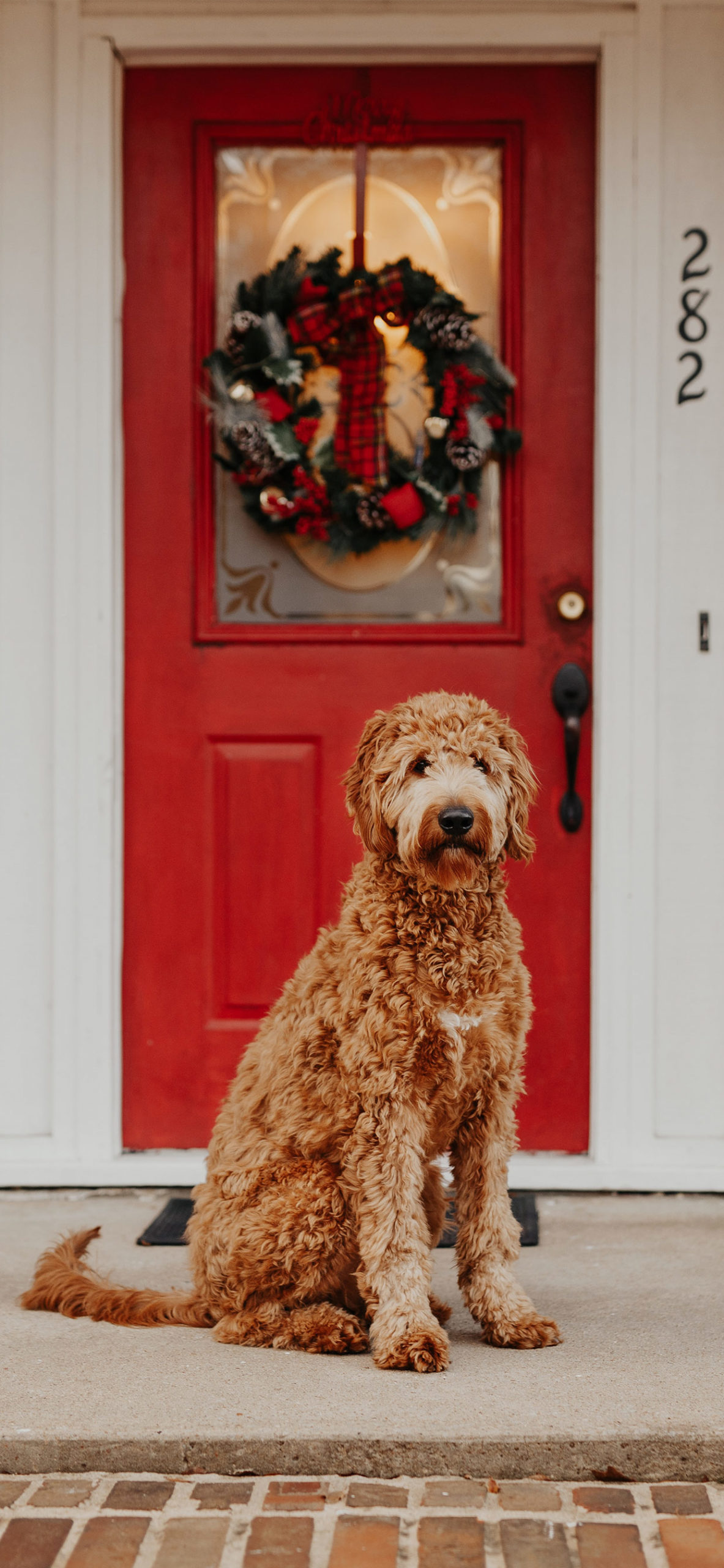 iphone Wallpapers christmas dog door scaled Christmas Dog