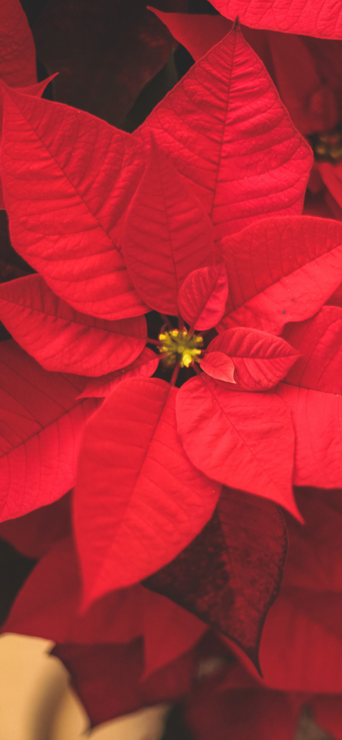 iphone Wallpapers poinsettia scaled Poinsettia