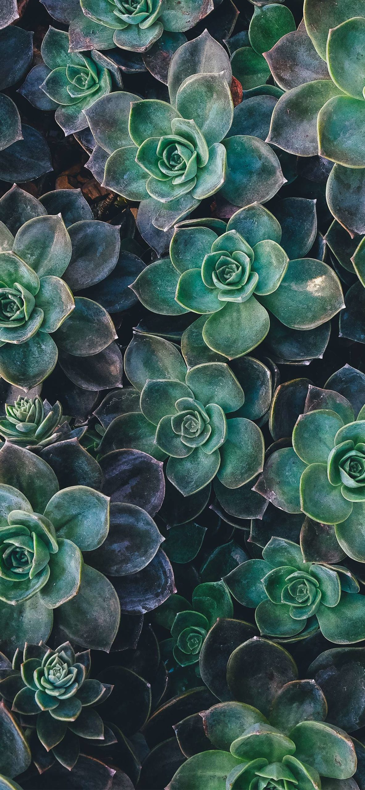 iphone wallpapers succulents3 scaled Succulents